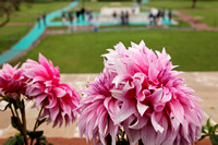 Dahlia Flowers at Ghandi Memorial