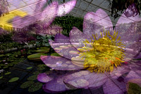 Waterlilies Abstract