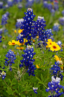 Bluebonnets and Coreopsis Flowers