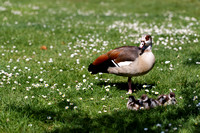 Egyptian Goose with Three Gooslings